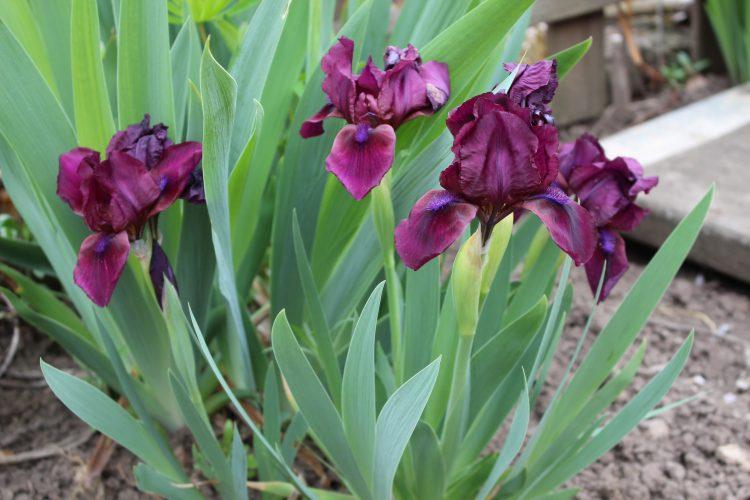 Schnelle Iris